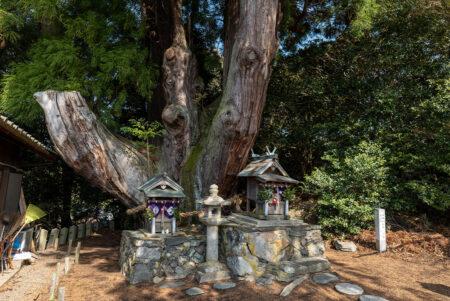 八坂の大杉